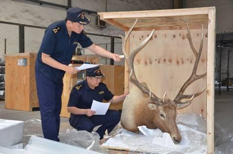 沈阳海关查获国家二级保护动物马鹿头标本(图)
