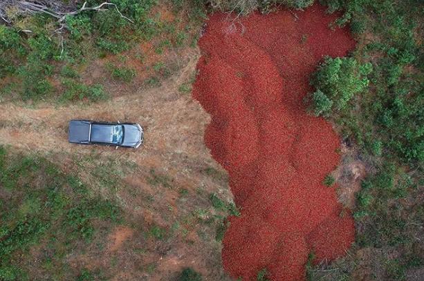 澳洲草莓藏针引发恐慌 农民被迫销毁数千吨草莓