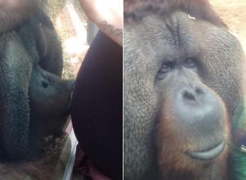 台媒:平壤动物园吸烟黑猩猩成明星