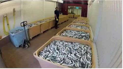 揭秘鲱鱼罐头的制作过程!购买当心友谊的巨轮瞬间倾覆