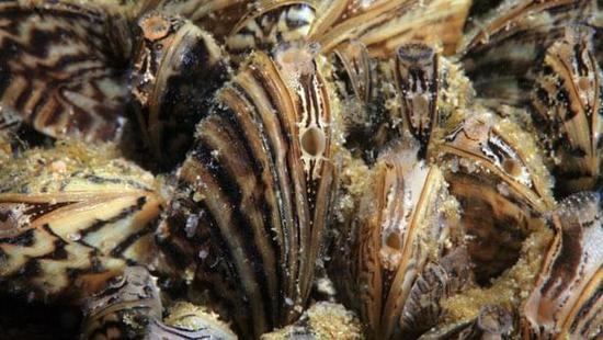 zebra-mussels-1.jpg
