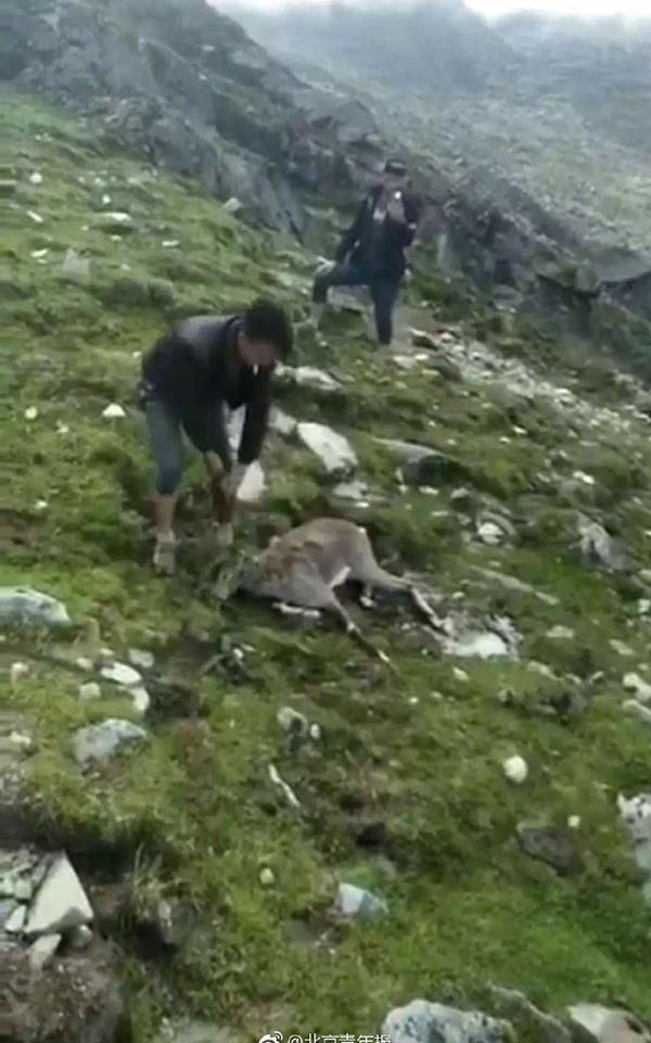 有人勒死藏羚羊?疑似二级保护动物岩羊 警方调查