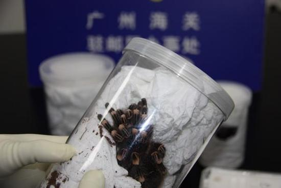 广州海关在邮递渠道查获活体蜘蛛(图)