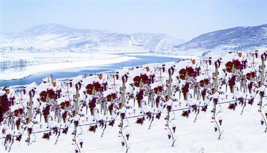 辽宁桓仁:崛起中的中国优质冰酒产区