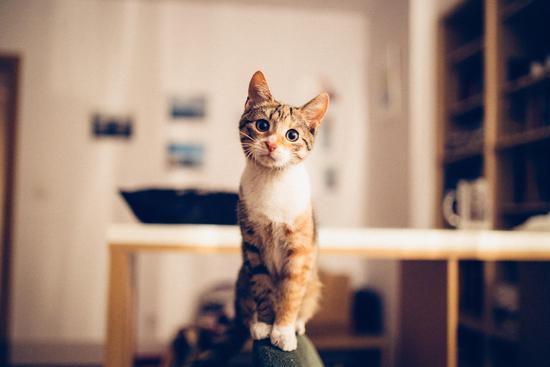 而视猫为女神的埃及人花了多少年才能顺利的与猫同行,甚至平起平坐呢?近两千年。 从第一王朝时期开始驯养,直至十八王朝时期才出现了成功驯养家猫的证据。在尼罗河畔底比斯古墓出土的石雕,描述了在一张坐椅下一只猫拥抱着一只肥大的鹅,有一只猴子和猫一起嬉戏。此时,猫终于放低了自己野兽的身段,勉强开始了与人类的同居生活。 埃及有猫了,然而隔海相望的希腊人还依靠着猫头鹰的临幸以消灭鼠患。 远航的希腊商人在埃及港口偶然看见了这种奇妙的动物,就立刻向国王报告了猫的用处。国王不惜重金向埃及国王购买,被拒绝后又上演了争夺猫咪的无