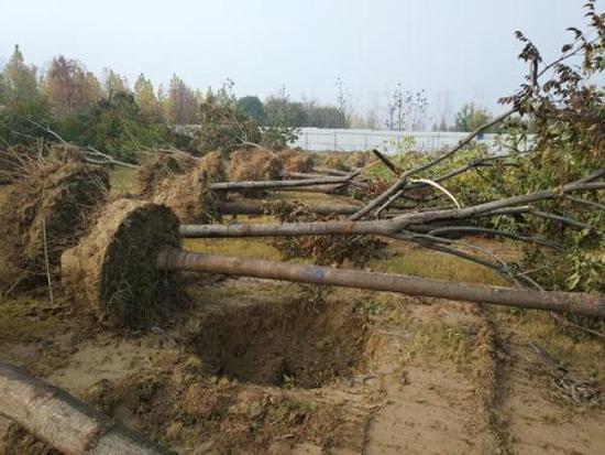 郑州景观林500棵树一夜遭毁 含多株16万元名贵树种