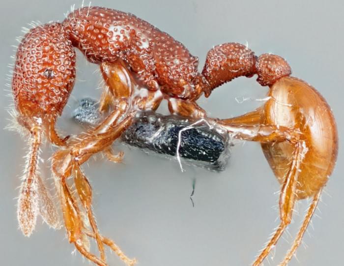 """科学家们找到稀有""""暴龙蚂蚁"""" 却发现其徒有其名"""