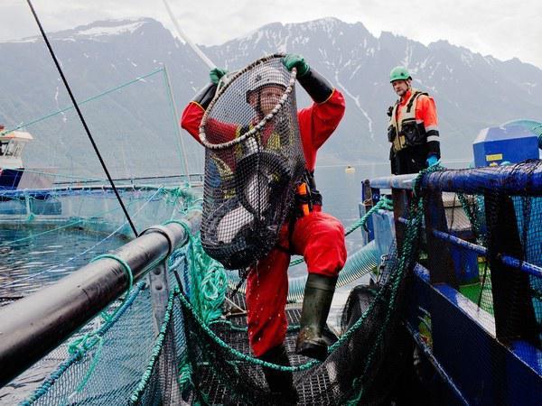 为了让更多人吃上三文鱼 养殖户用上机器人和激光