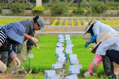 6月11日,青岛海水稻研发中心白泥地实验基地,工作人员正在起秧,为插秧做准备。青岛海水稻研发中心供图