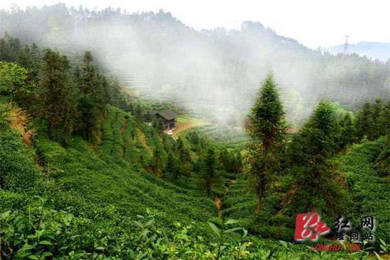 隆回:开荒种上有机富硒茶 带动