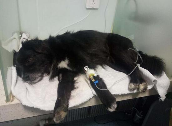 众多宠物狗被下毒