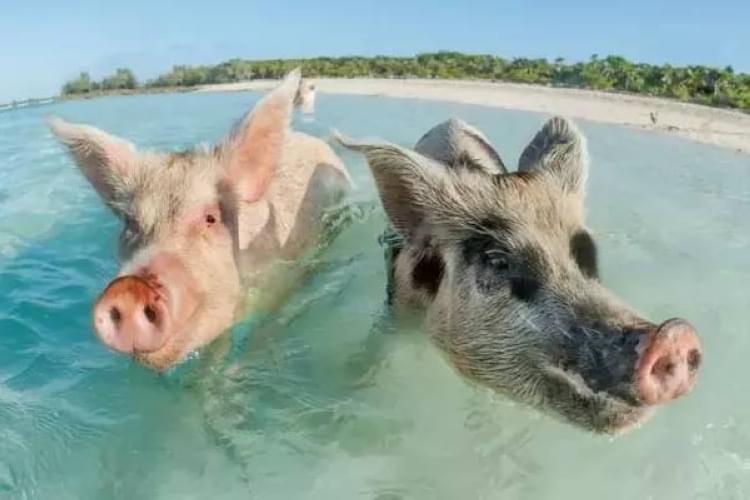 给猪听歌的图片套路