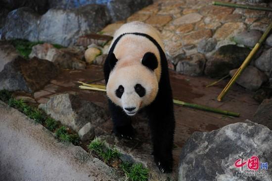 成都大熊猫繁育研究基地从 1994 年开始同日本和歌山白浜野生动物园