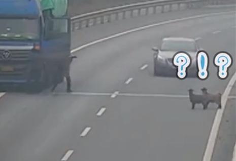 4只羊越过护栏上高速 过路司机顺手牵羊直接抱走
