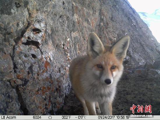"""红外相机捕捉到澜沧江源多种野生动物""""摆pose"""""""