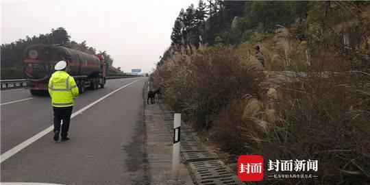 老汉在高速公路边放羊 因隔离栏内绿化带植被茂盛