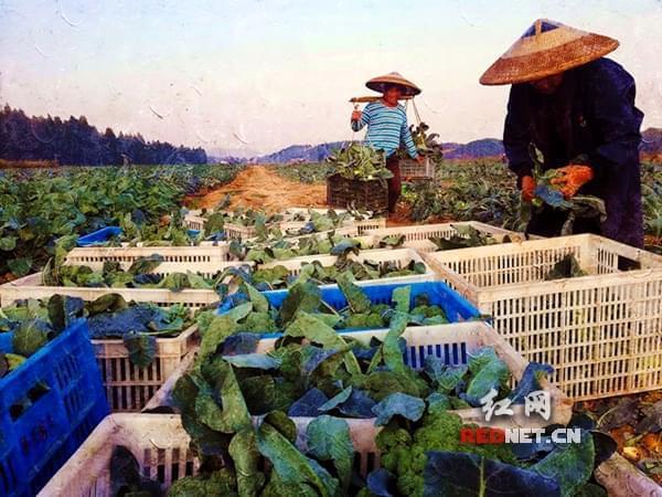 祁东县西兰花喜获丰收 预计明年1月上市销售