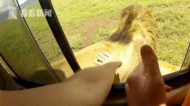 不要命!男子开车窗偷摸狮子 下一秒遭狮吼被吓傻