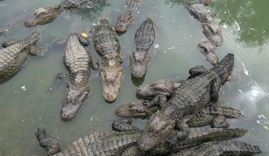 安徽扬子鳄保护区内停止征地 停止26个项目施工