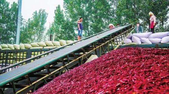 柘城县:辣椒经济成为农民脱贫致富大产业