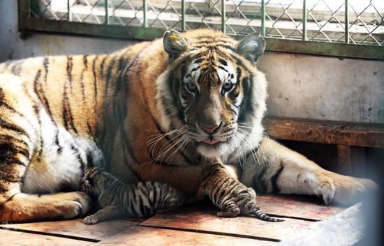 全球老虎日:一只超萌小东北虎是如何长大的?