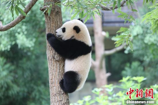 """旅美大熊猫""""宝宝""""成长记"""