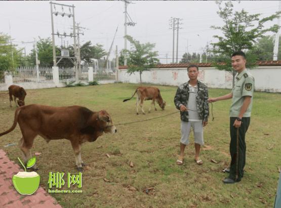 价值6万元黄牛走失 民警核实将牛物归原主