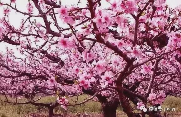 别再羡慕《三生三世》里的桃花林,其实济南也有