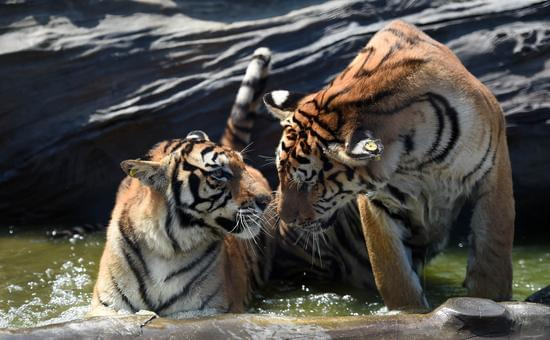 8月4日,在黑龙江东北虎林园观赏区,两只东北虎在水中纳凉.图片