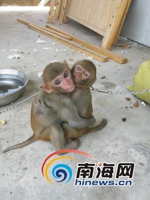 圈养猕猴获海南志愿者解救 神情惊恐怕人