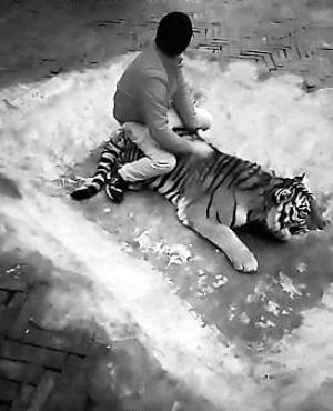 动物园饲养员回应虐虎:观赏角度不同 并非挑逗