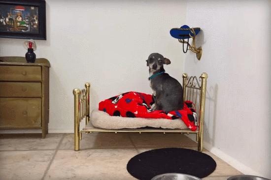 吉娃娃像哈利波特一样在楼梯隔间拥有自己的卧室