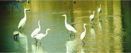 太原汾河湿地候鸟嬉戏觅食