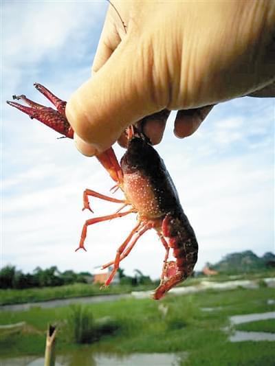 想养殖小龙虾大闸蟹致富?机会来了!