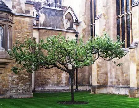"""剑桥大学内传说中的""""牛顿苹果树"""""""