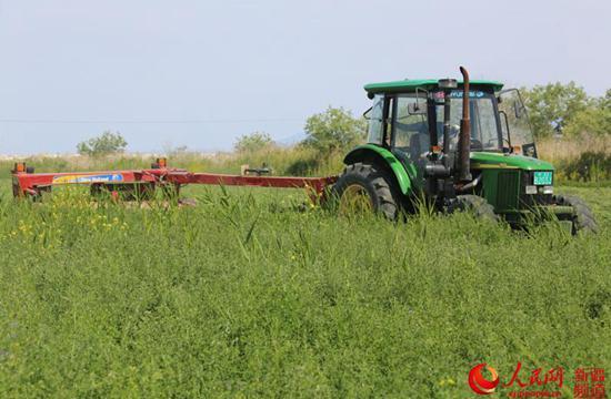 新疆生产建设兵团八十三团六连棉花低产田改种2500亩苜蓿喜获丰收。资料来源:人民网