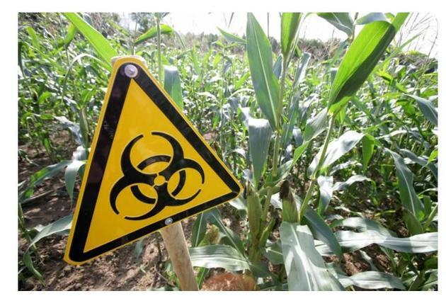登海种业违规种植2590亩转基因玉米 高管被警方拘押