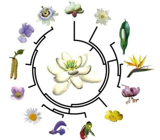 3D图形显示,始祖花外表与后代没太大区别,3层白色花瓣像白莲花和白百合,雄蕊和雌蕊也与现代花朵相似。与绝大部分的现代被子植物一样,它也是雌雄同体,不过花瓣是以同心圆方式环绕着花蕊,而不是更常见的螺旋方式。英国、奥地利及法国等科学家连手,收集大量论文,制作被子植物数据库,通过基因对比,得出庞大的被子植物家庭树,再进行数百万次模拟,最终得出始祖花的样子。