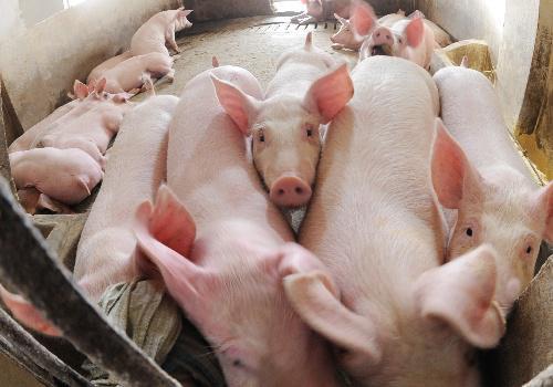 中国畜牧业的养殖方式面临改变。来源:新华社