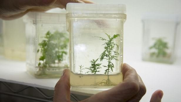 植物粉末挽救了生命垂危的疟疾患者的照片 - 1