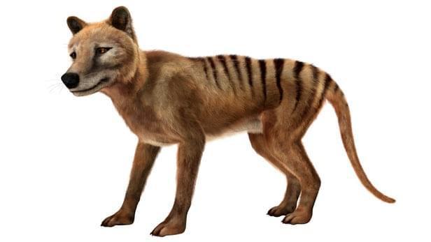 死而复生?目击报告吸引科学家寻找已经灭绝80年的塔斯马尼亚虎