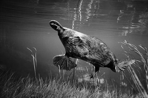 鸭嘴兽是为数不多的基因组已经被测序的复杂生物之一。图片来源:Dave Watts
