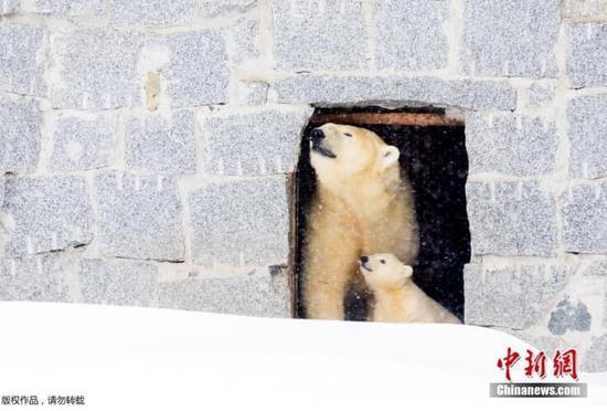 超温馨!北极熊母亲带幼崽看雪_网易新闻