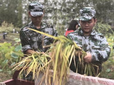 学生正在收割水稻
