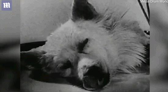 头部移植有望?纪录片称苏联曾在1928年复活狗头