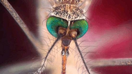 美国培育几百万只蚊子投放野外,有可能让人绝育!