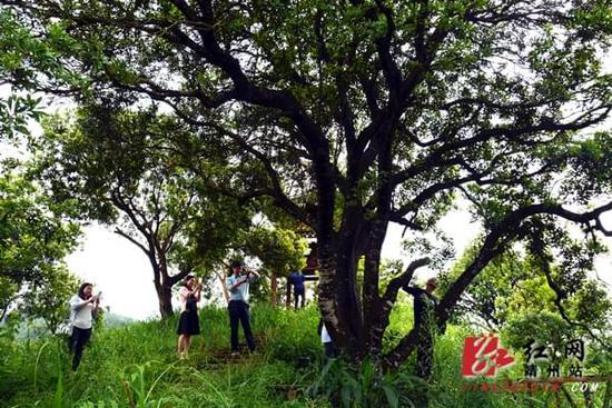 """522年的""""杨梅树王""""树干上长出杨梅果(图)"""