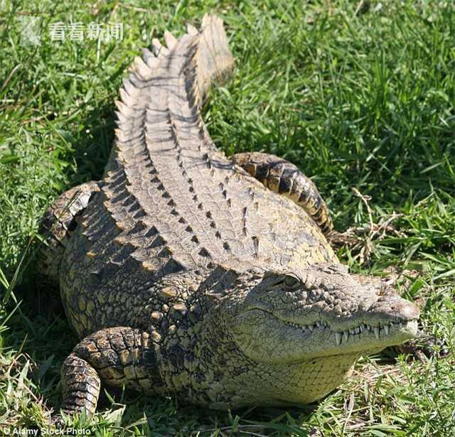 男子过河误踩鳄鱼被咬致截肢:听到骨头断裂的声音