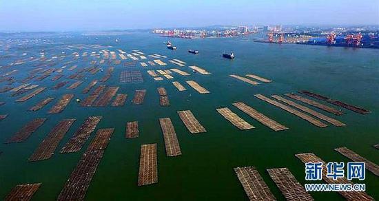 (经济)(1)广西钦州:养殖大蚝 助农增收