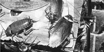 蟑螂因何能在地球生存数亿年?关键时刻不交配也能产生下一代